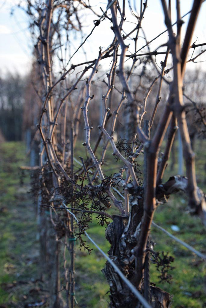 spätherbstliche Ruhephase in den Weingärten