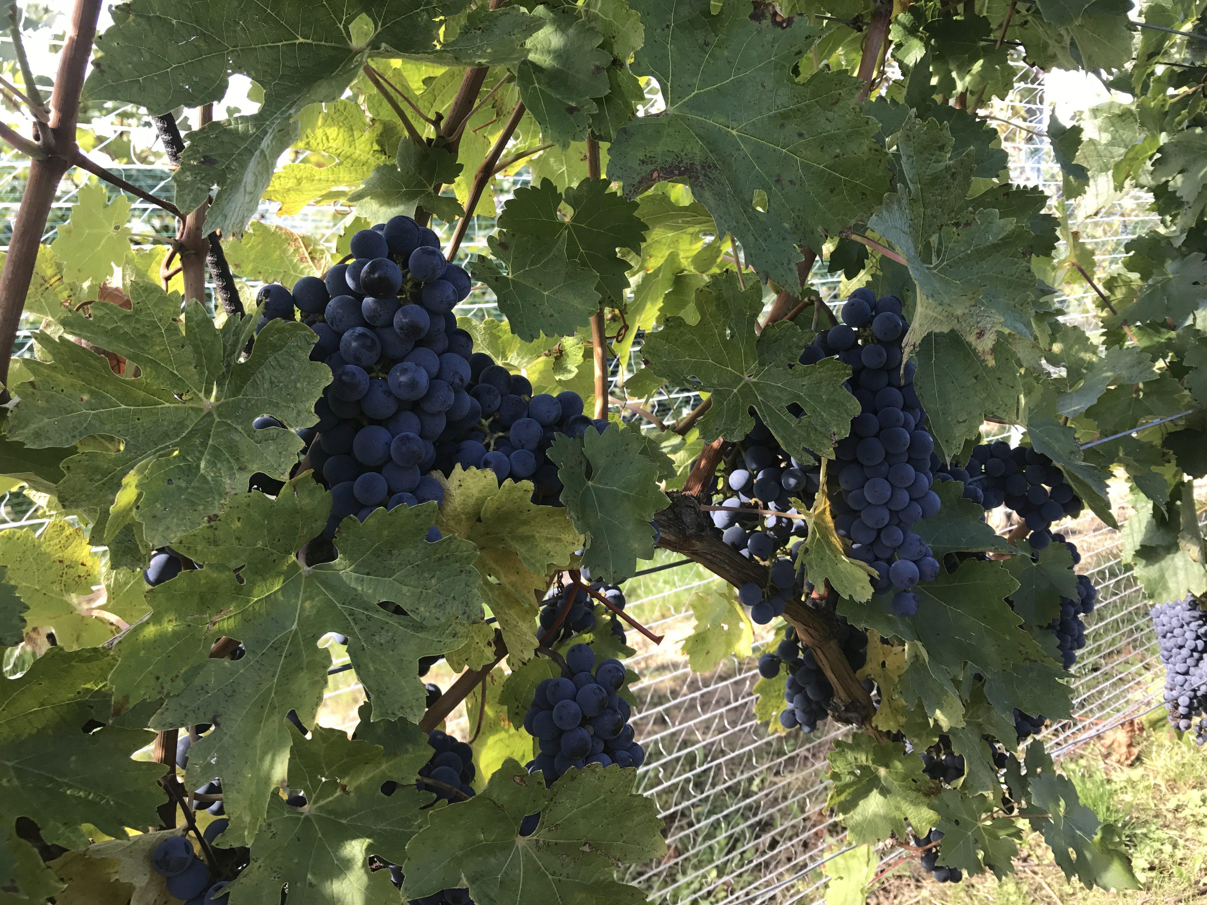 Merlot-Trauben kurz vor der Harvest
