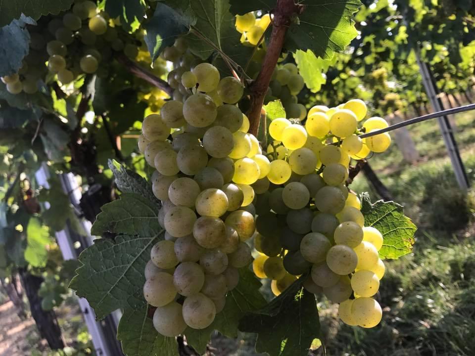 goldene Chardonnay-Trauben